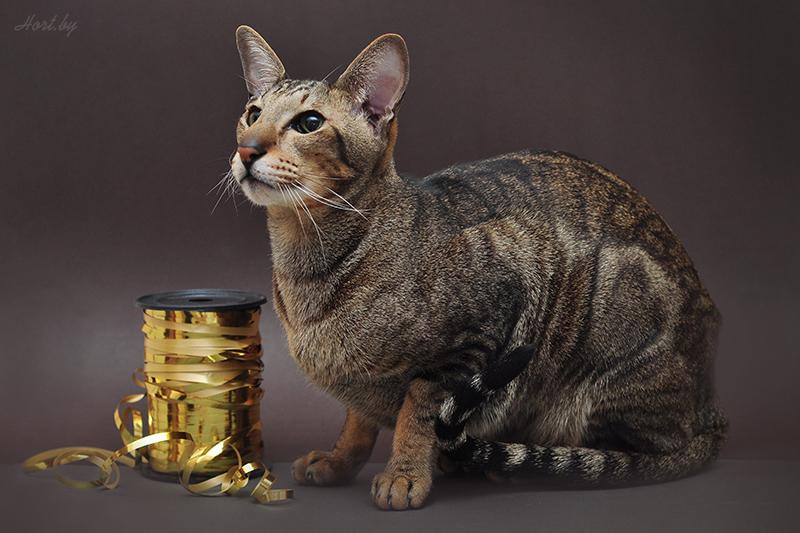 Ориентальный кот: Фото Его Усочайшества Рамзеса III